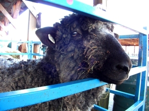blue black sheep