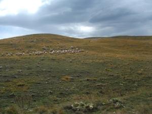 Abruzzo sheep