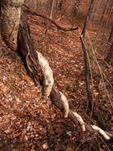 woods-vines