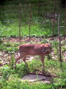 deer2 003 - Copy
