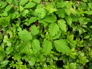 poison ivy in groundcover