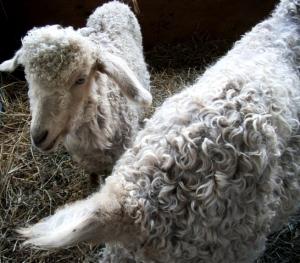 NJsheep-goats