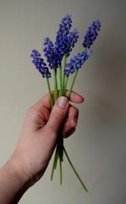 spring-grape hyacinth