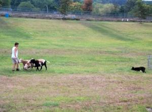NJwool-herding