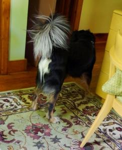 rocco white tail