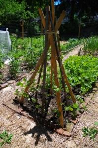 garden-beanpole