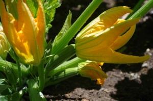 garden-lots-o-zukes