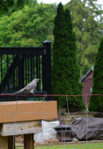july-catbird