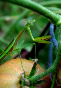 garden-end-mantis