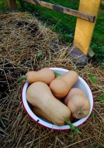 garden-end-squash