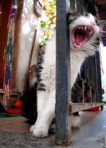 pussy-roar
